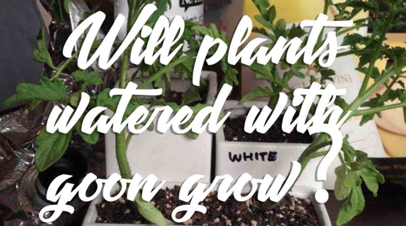 Will-Tomato-Plants-grow-if-they-are-watered-gooned-with-Goon?