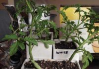 Will Tomato Plants grow if they are watered (gooned) with Goon?